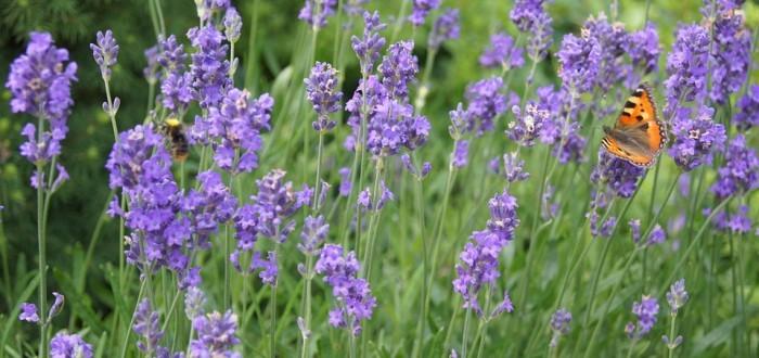 lavender-339115_960_720