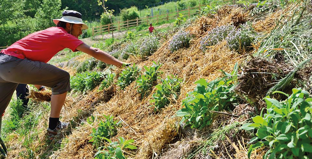 Aromatic herbs on the terraces