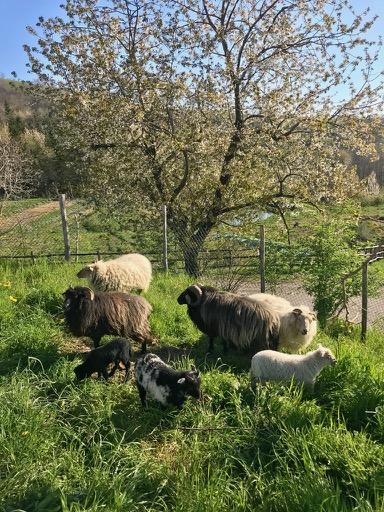 pecore-recinto